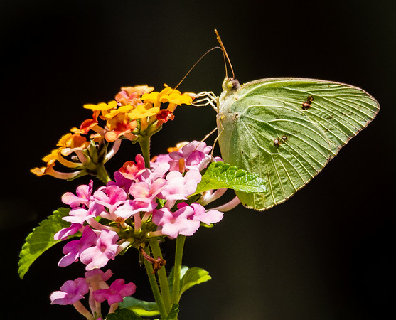 Cloudless Sulfur Butterfly (Phoebis sennae)