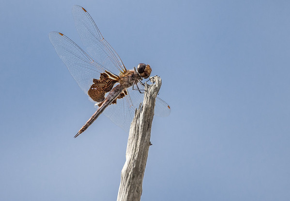 Red Mantled Saddlebags Dragonfly