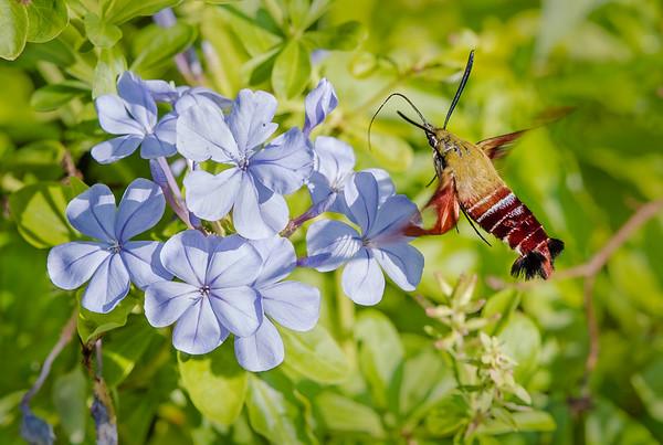 Clearwing Hummingbird Moth (Hemaris thysbe) Nectaring on Blue Plumbago