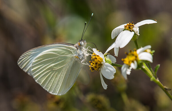 Great Southern White Butterfly on Bidens Alba