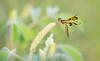 Eastern Amberwing Dragonfly (Perithemis tenera)